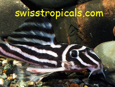 Hypancistrus zebra male